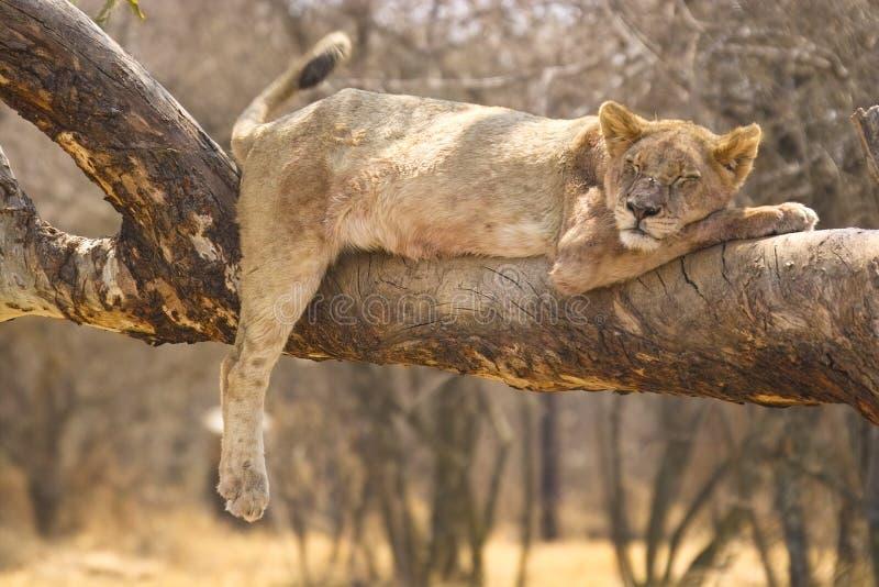 Lion (Panthera leo) , Kruger National Park. Lion (Panthera leo) in a tree in the Kruger National Park, South Africa stock photo