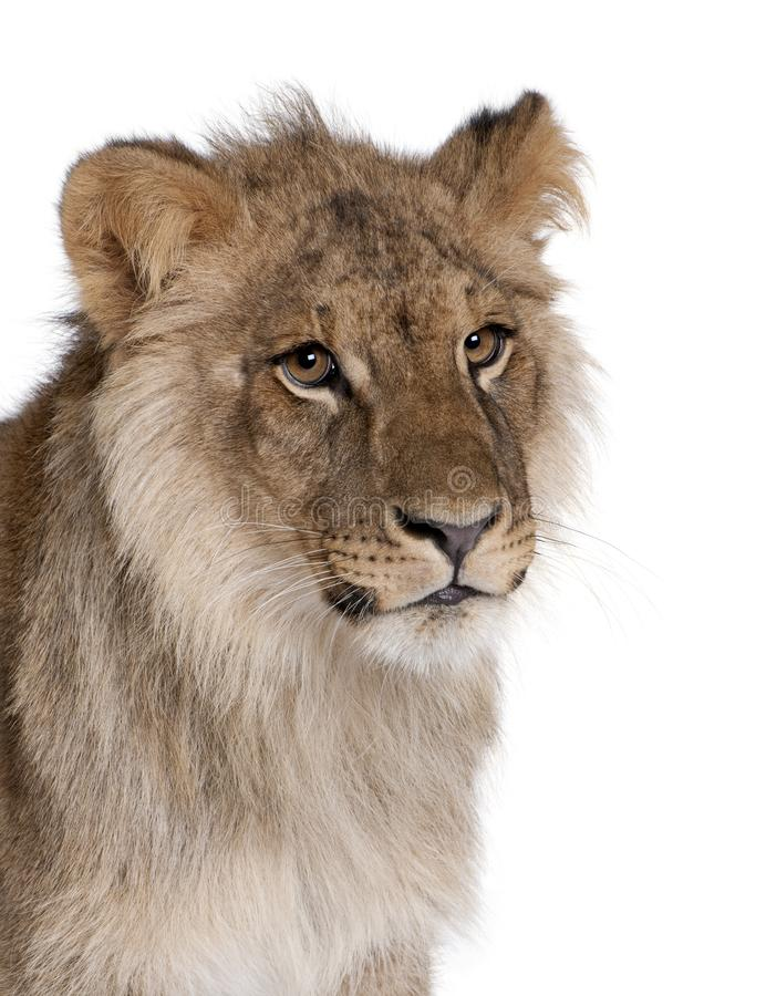 Lion, Panthera leo, 9 months old. In front of a white background, studio shot royalty free stock image