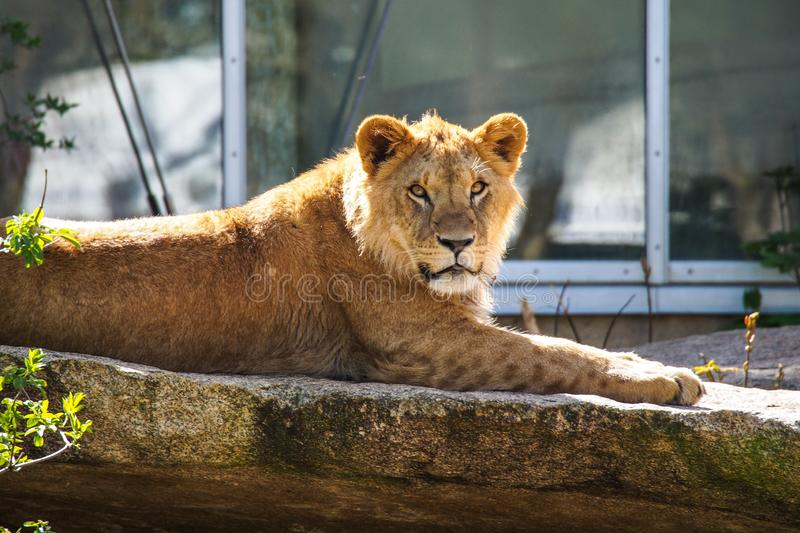 The lion, Panthera leo is one of the four big cats in the genus Panthera stock photography