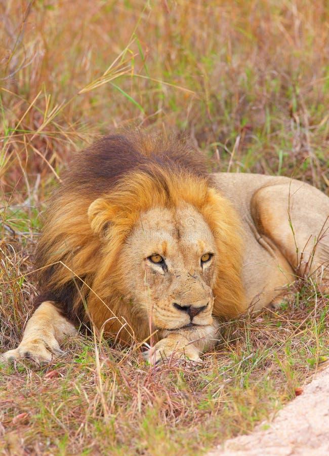 Lion (panthera leo) in savannah stock photos