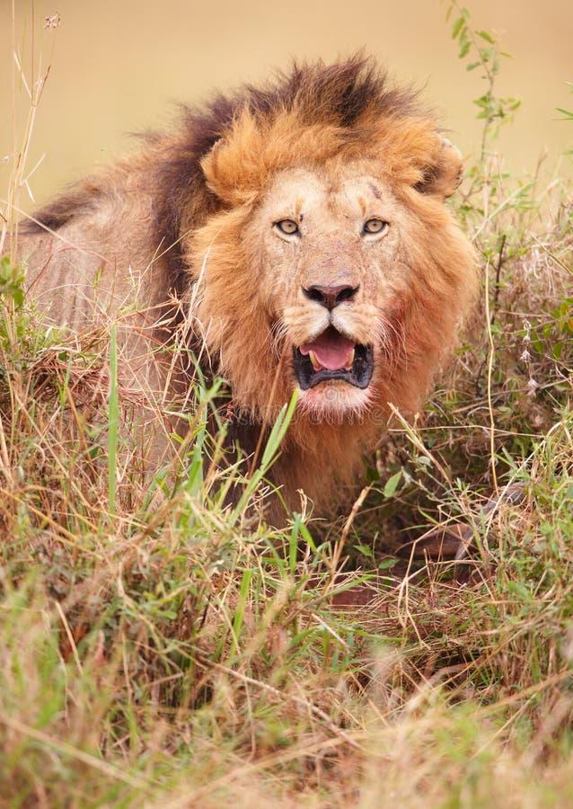 Lion (panthera leo) in savannah royalty free stock images