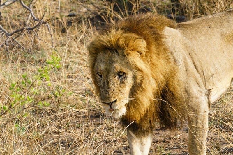 Lion (Panthera leo royaltyfria bilder