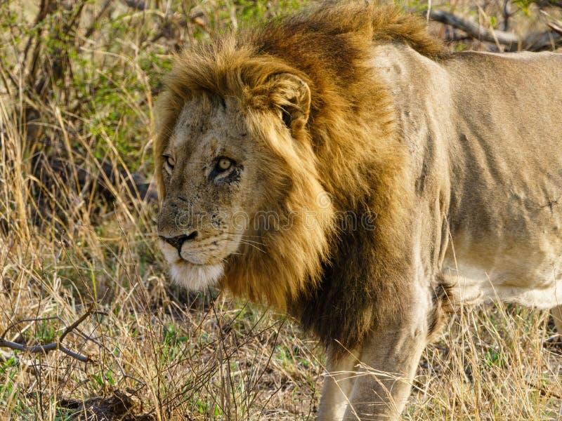 Lion (Panthera leo arkivfoton