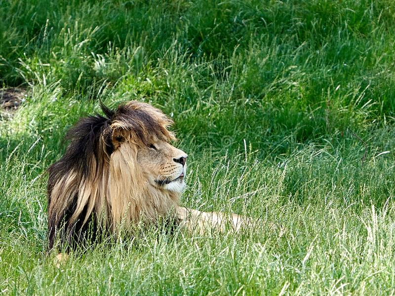 Lion close up royalty free stock photo