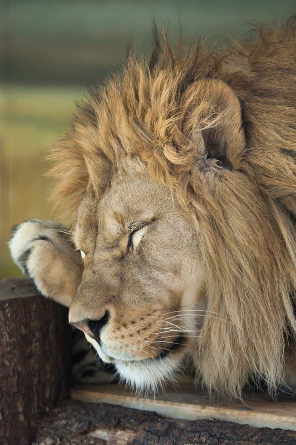 Lion (Panthera leo). royalty free stock images