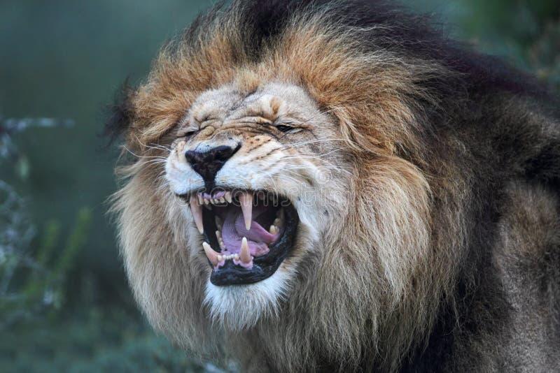Lion (Panthera Lion) image libre de droits
