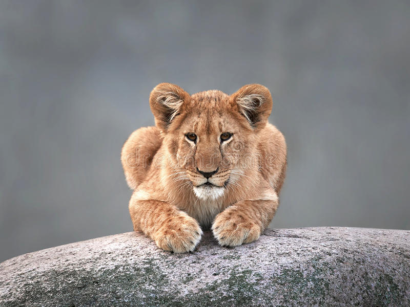 Lion (Panthera Lion) photos libres de droits