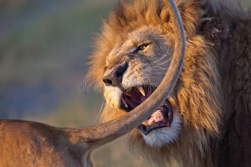 Lion in the park. Lion in the tanzanian national park stock image
