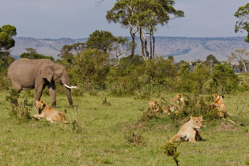 Lion in the park. Lion in the tanzanian national park stock photography