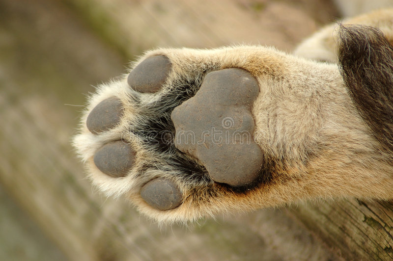 Lion paw. A beautiful cute little paw of a lion cub resting and sleeping in a game park in South Africa
