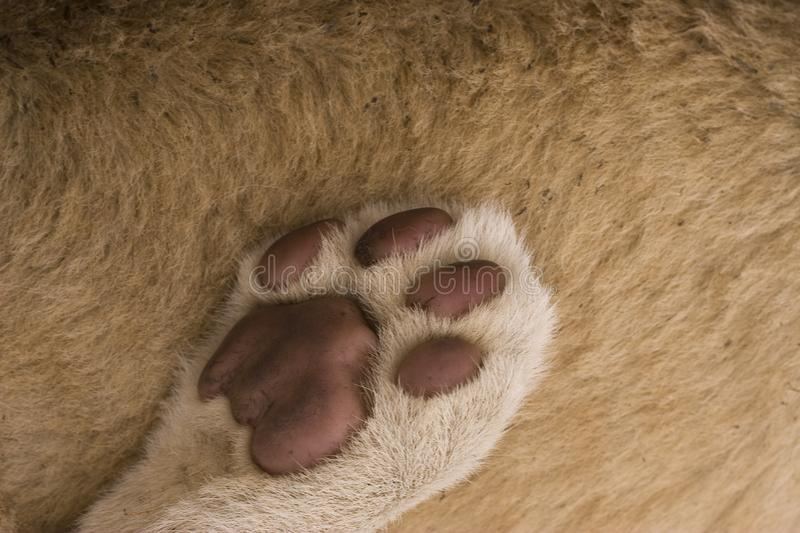 Download Lion paw abstract stock image. Image of closeup, background - 9737847