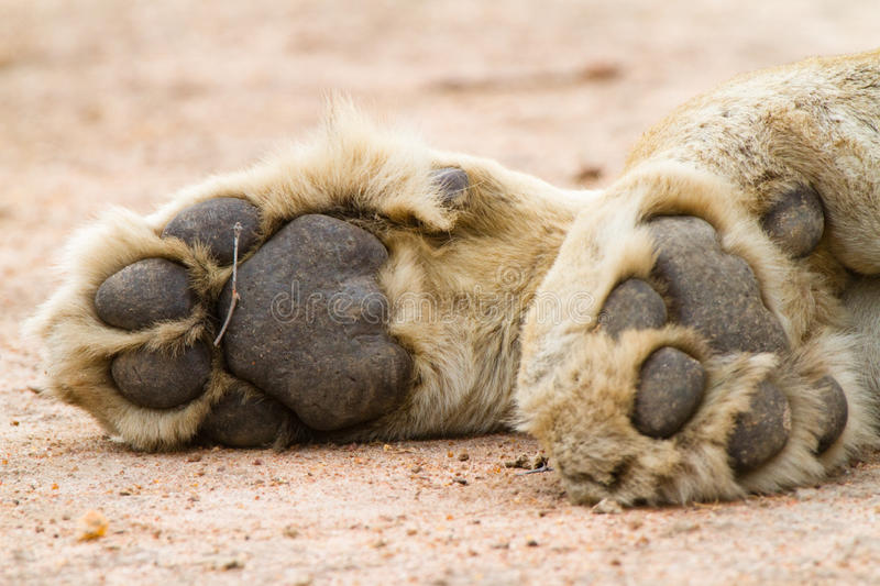 Lion paws. A pair of lion paws stock photo