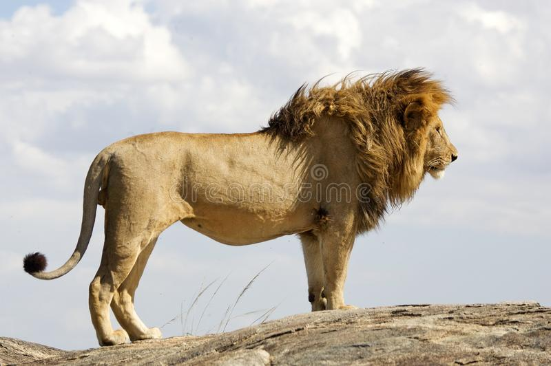 Lion (Phantera Lion) photographie stock