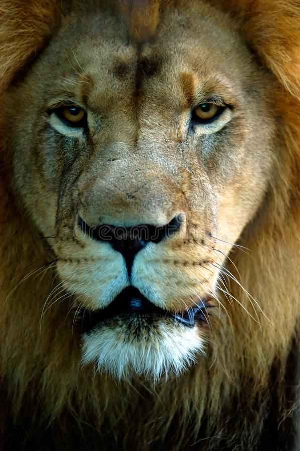 Lion portrait stock photography