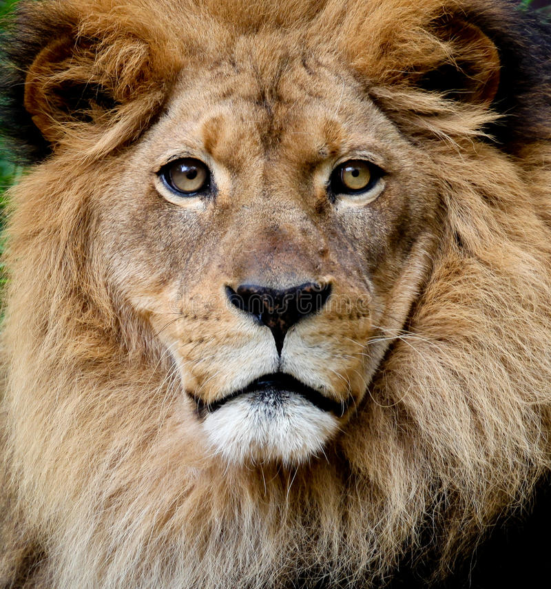 Free Lion Portrait Royalty Free Stock Photo - 13826705
