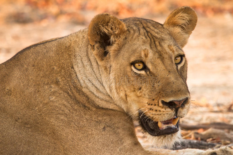 Download Lion portrait stock image. Image of food, carnivorous - 17926243