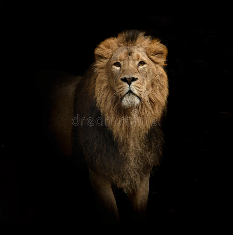 Lion portrait on black royalty free stock photo