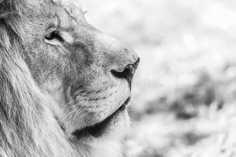 Lion Portrait. Black And White Lion Portrait royalty free stock photos