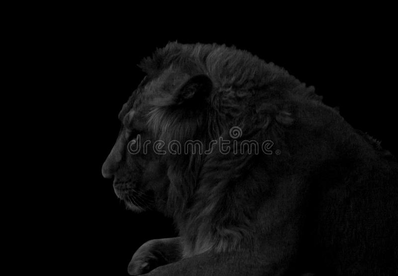 Lion portrait black and white stock image