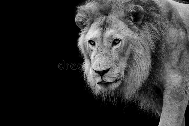 Lion portrait. Black and white picture of a Lion in Africa royalty free stock image
