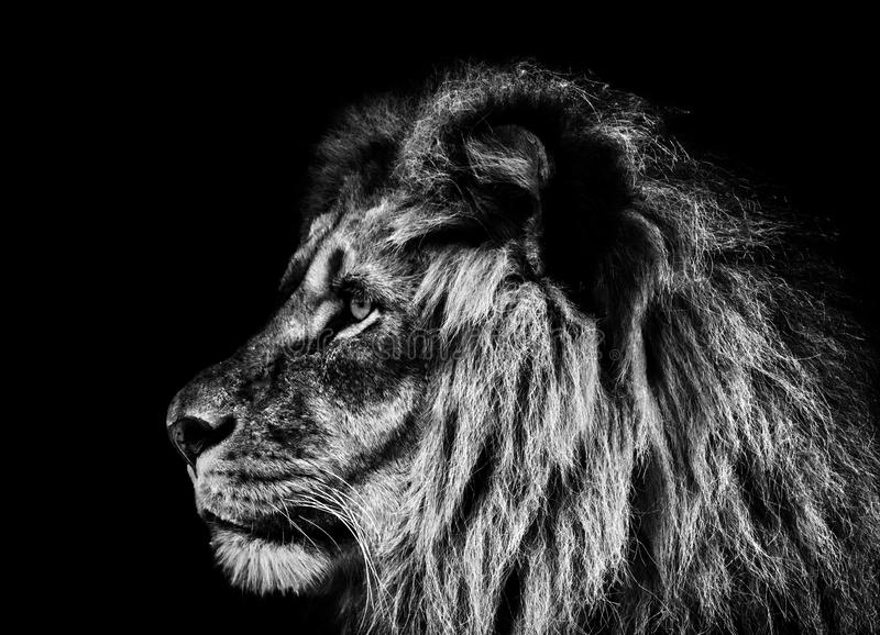 Lion portrait in black and white stock photography