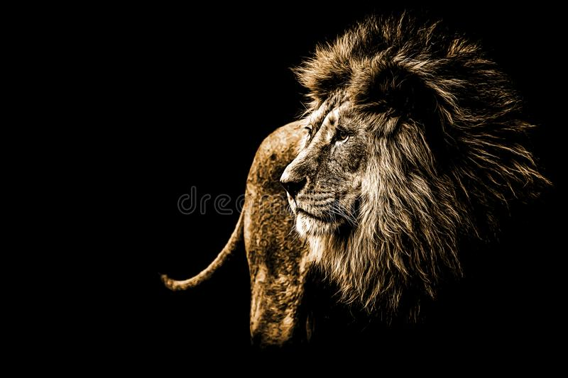 Lion portrait in bright golden colours royalty free stock photos