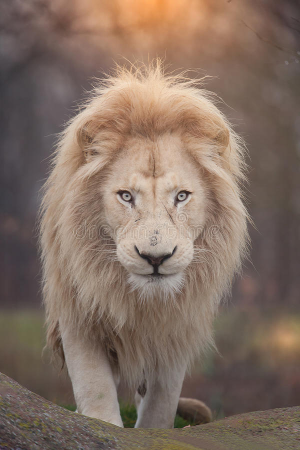 Lion portrait. Close up shot of africa lion portrait