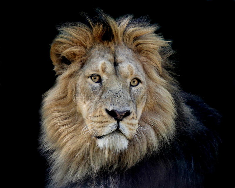Lion portrait in front of black background stock images