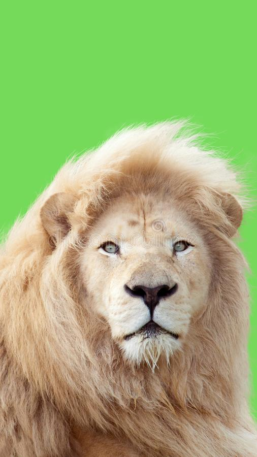 Lion portrait with a green background. Close up shot of lion head with a green background