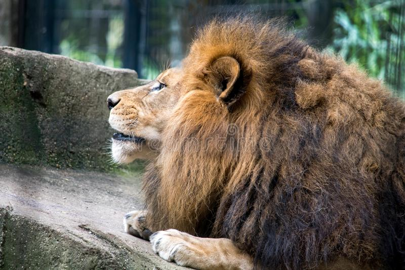 Lion portrait with an impressive furry mane stock photography