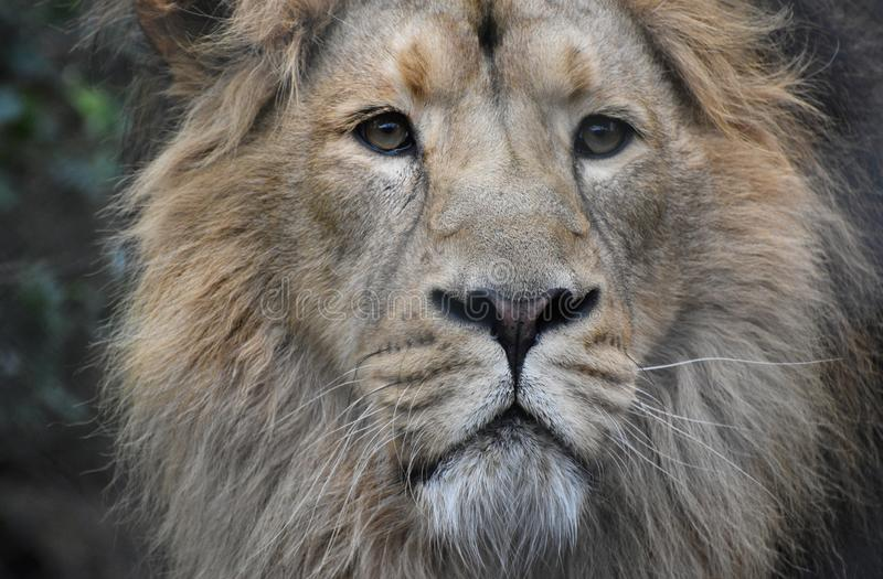 Lion Portrait Male Asiatic Lion stock photo