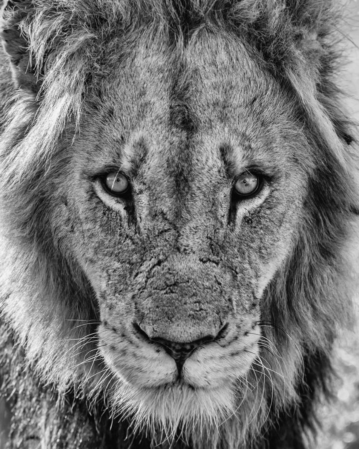 Lion - portrait of a male royalty free stock images