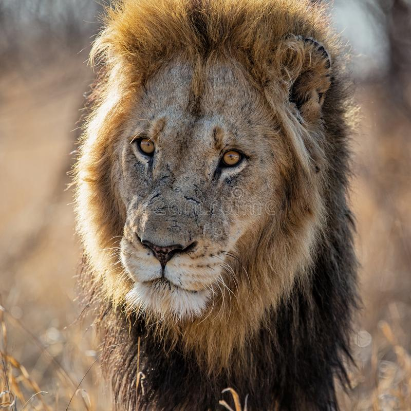 Lion - portrait of a male stock photography
