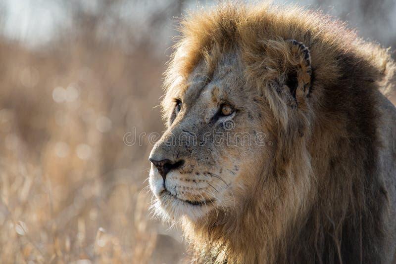 Lion - portrait of a male stock image