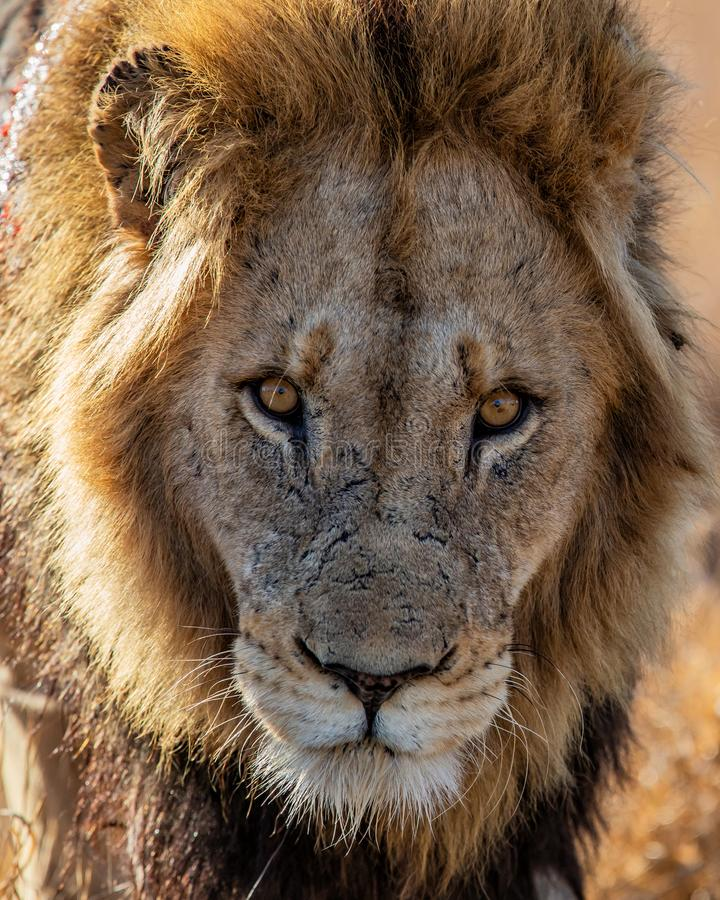 Lion - portrait of a male royalty free stock photography
