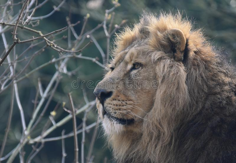 Lion portrait - male majestic. A close up photograph of a male lion`s head and face in semi profile with his head held high stock photography