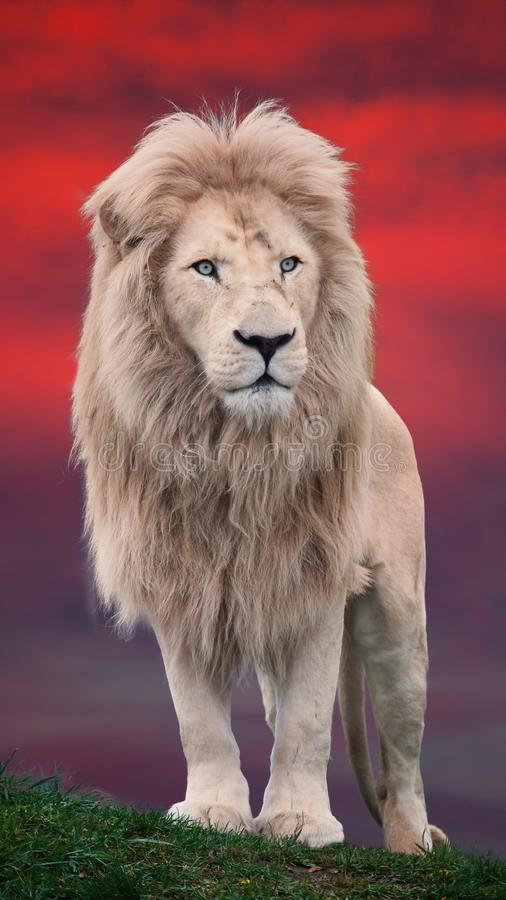 Lion portrait with a red background. Close up shot of big lion portrait at beautiful sunset