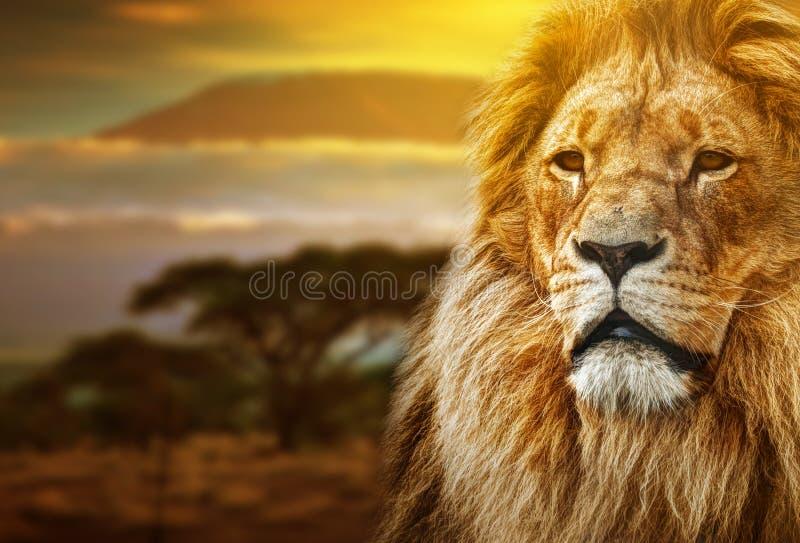 Lion portrait on savanna landscape stock photography
