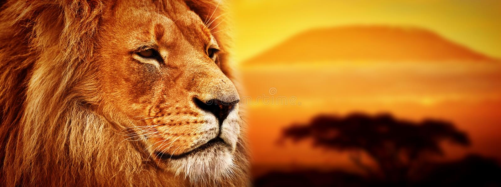 Lion portrait on savanna. Mount Kilimanjaro royalty free stock image