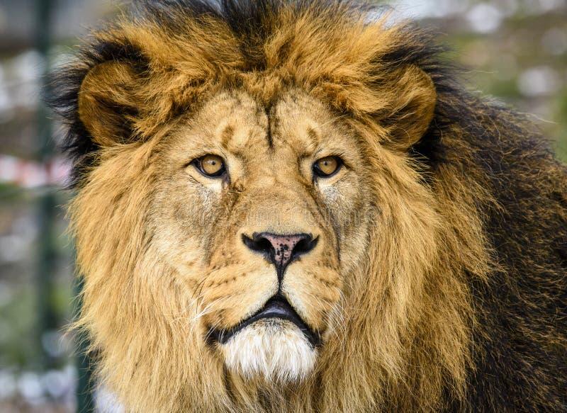 Lion posant pour le portrait dans le ZOO à Pilsen, République Tchèque photos stock