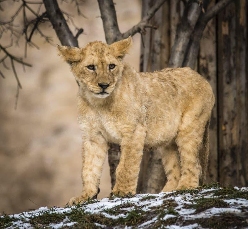 Lion posant pour le portrait dans le ZOO à Pilsen, République Tchèque photo libre de droits