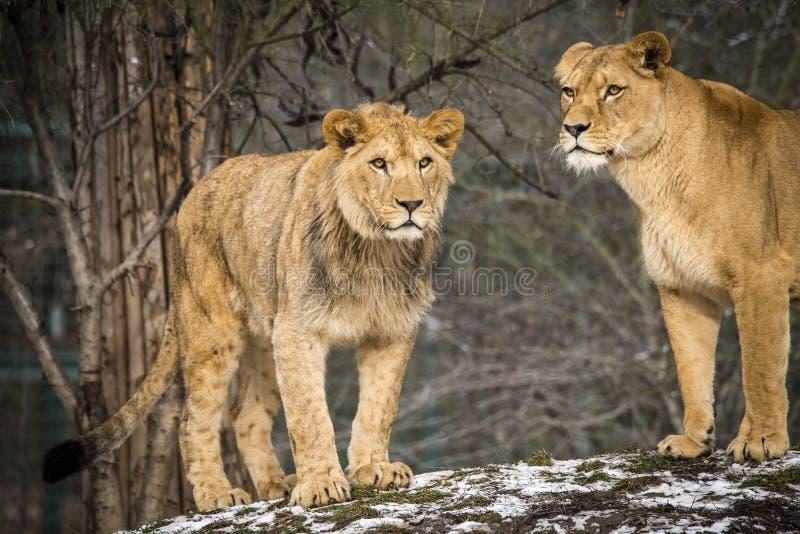 Lion posant pour le portrait dans le ZOO à Pilsen, République Tchèque photographie stock libre de droits