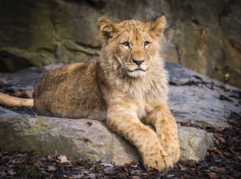 Lion posant pour le portrait dans le ZOO à Pilsen, République Tchèque image libre de droits