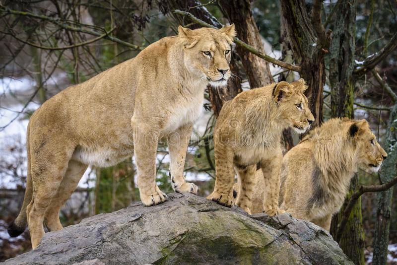 Lion posant pour le portrait dans le ZOO ? Pilsen, R?publique Tch?que images stock