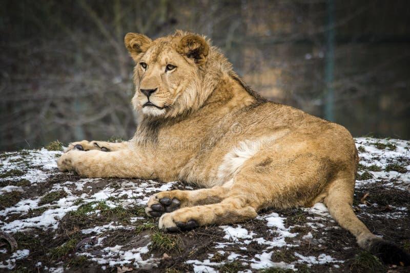 Lion posant pour le portrait dans le ZOO ? Pilsen, R?publique Tch?que photos stock