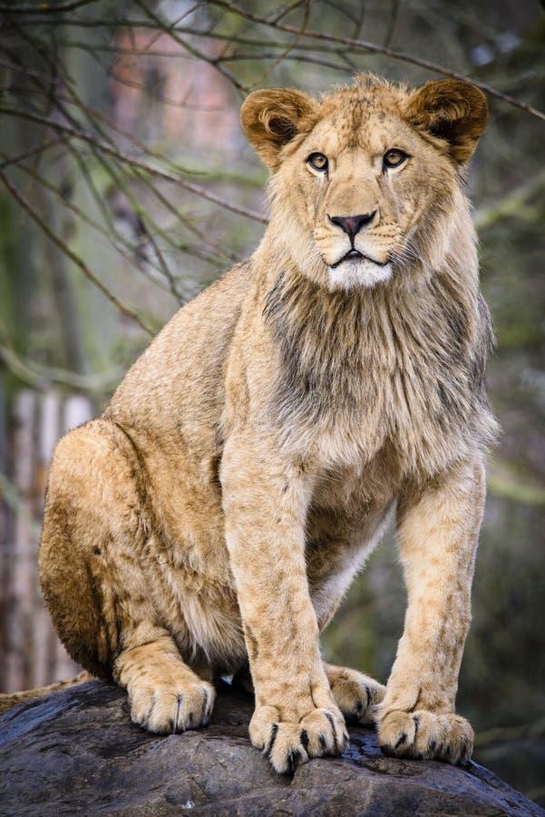 Lion posant pour le portrait dans le ZOO ? Pilsen, R?publique Tch?que images libres de droits