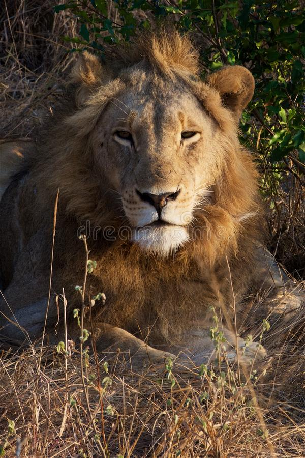 Lion Pose in Kruger National Park royalty free stock images