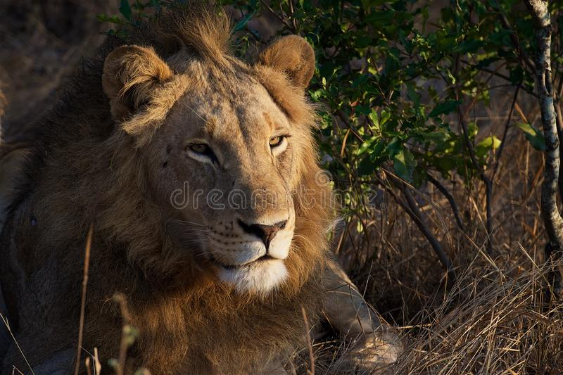 Lion Pose in Kruger National Park stock photos