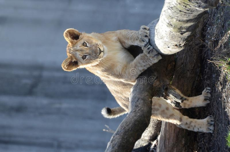 Download Lion poses on tree stock photo. Image of looks, perch - 23408372