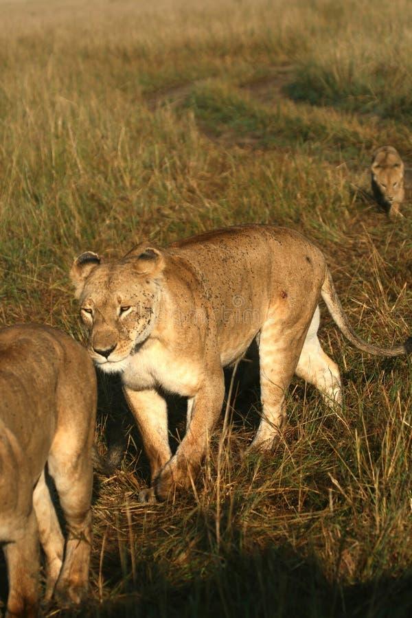 Lion pride. (Panthera leo), Masai Mara Game Reserve, Kenya royalty free stock photos